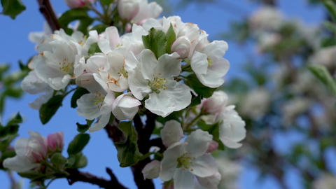 Bee on a blooming apple tree. Blooming apple tree against the background of a Live Action