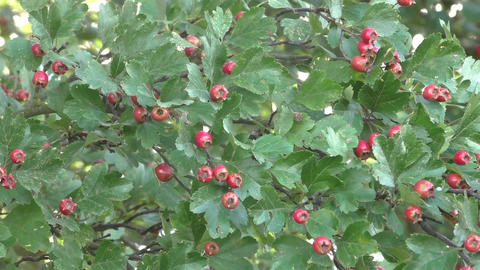 Ripe hawthorn in autumn Live Action