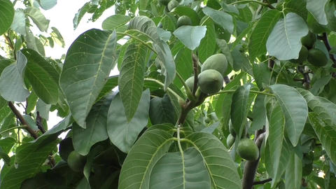 Walnut on a tree branch Stock Video Footage