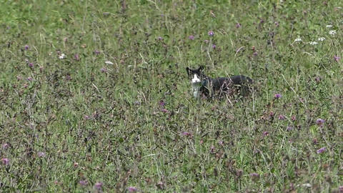Black and white cat in windy grass Footage