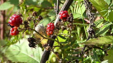 Wild natural raspberries Footage