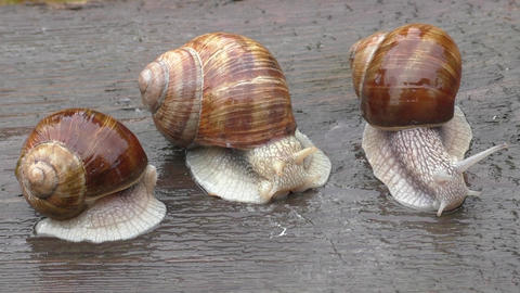 Snail three spiral shell tentacles wild nature Footage