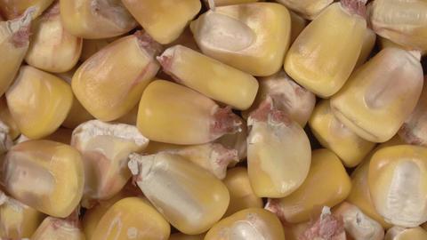 Rotation of corn close up. Corn grains. Macro image. 4K video Live Action