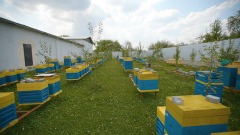 Walk between the bee hives on the apiary. Industrial beekeeping Live Action