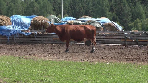 Brown cow in the meadow Footage
