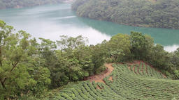 Tea plantation at Turtle Island Shiding New Taipei CIty Taiwan 1 Footage
