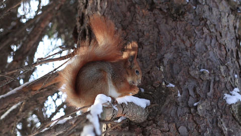 Red squirrel on pine branch eating nuts in winter Footage