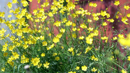 wild yellow primroses Footage