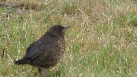 Portrait of a young blackbird among vegetation Live Action