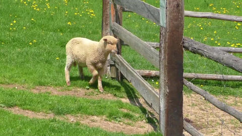 Sheeps behind the fence in farm Footage