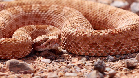 Rattlesnake in the desert of Norther Arizona Live Action