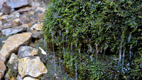 Clear water drops dripping on the green moss Footage