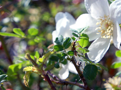 White wild flower wild rose strongly sways in the wind. Kyrgyzstan Footage