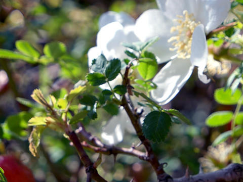 White wild flower wild rose strongly sways in the wind.... Stock Video Footage