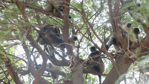 Bunch of monkeys (langur) got the branchy tree 1 Footage