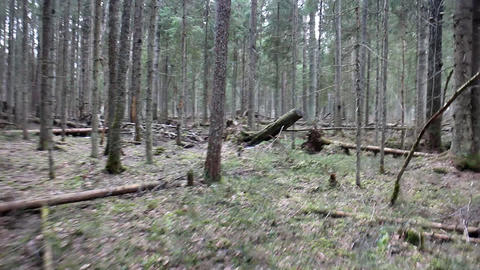 Walk around old mysterious pine forest Footage