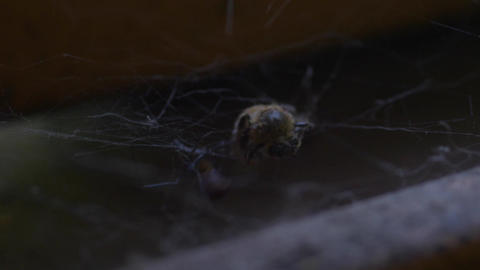 Spider captures a Bee Filmmaterial