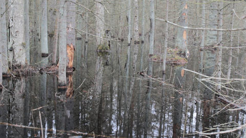 Death of old forest 4. Beavers flooded old spruce forest Footage