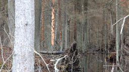Death of old forest 1. Beavers flooded old spruce forest Live Action