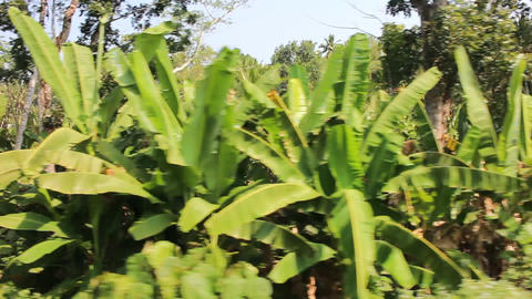 Abandoned palm plantations: dense thickets of banana and coconut trees and wild  Footage