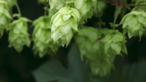 Hop Stock Video Footage