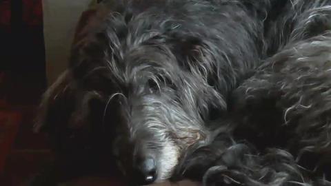 Scottish Deerhound Resting AA Stock Video Footage