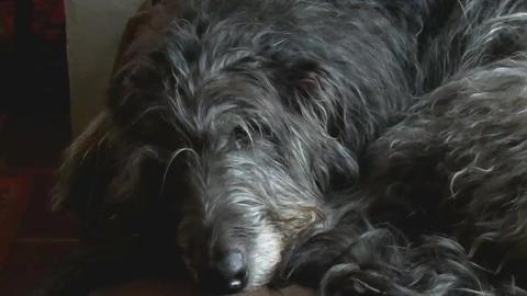 Scottish Deerhound Resting AA Footage