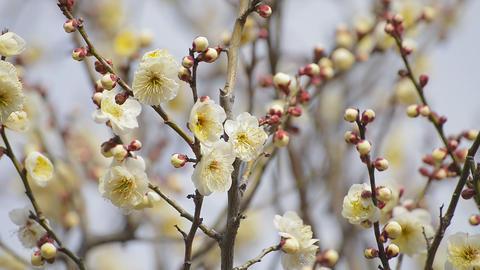 Flowers of White Plum in Koganei park,Tokyo,Japan Footage