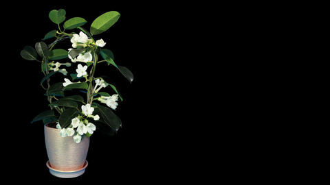 Time-lapse opening white stephanotis flower buds ALPHA matte (Stephanotis) Footage