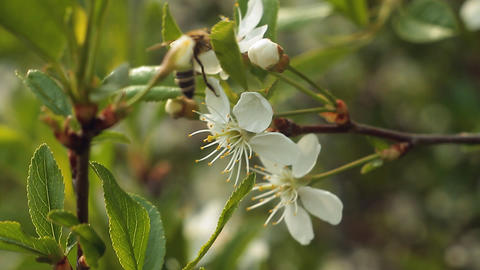 Apple blossom Stock Video Footage