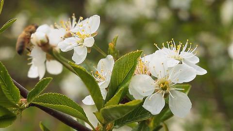 Apple blossom Stock Video Footage