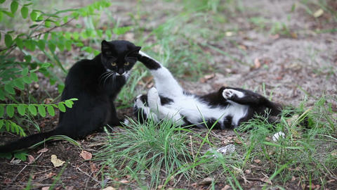 Two black cats playing outdoor Stock Video Footage