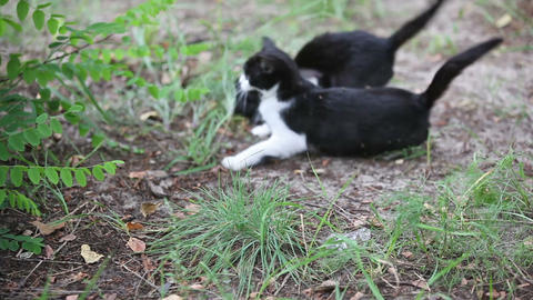Two black cats playing outdoor Footage