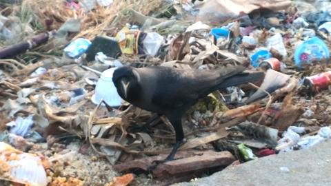 Food opportunist. Indian house crow gathers food in garbage Footage