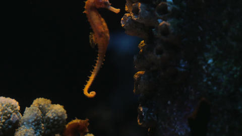 Sea horse slowly swims in the water column between corals. Siam Ocean World, Ban Footage