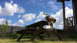 Beagle Jumps off the Table Footage
