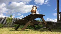 Beagle Jumps off the Wooden Table Footage