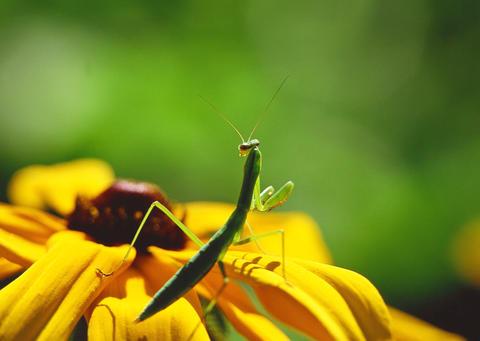 Praying Mantis standing on flower ภาพถ่าย