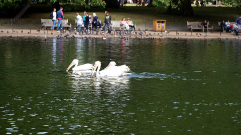 London. Summer. A park. Pelicans swimming in the lake Footage