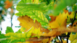 London. Autumn. Middle and close-up. Yellow and green leaves on a tree Footage