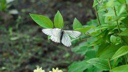 Aporia crataegi (Black-veined white butterfly) Footage