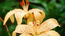 Creamy Lily flower under rain ビデオ