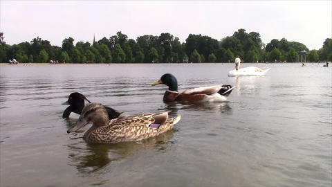 Geese and ducks swimming on the lake Footage
