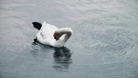 Swan floating on the lake and cleans itself Footage