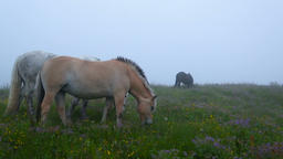 Two horses grazing in a meadow with flowers Footage