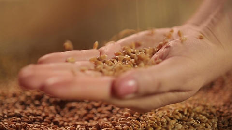 Select grain seeds dropping in human hand, spring sowing campaign, good harvest Footage
