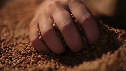 Person enjoying touch of wheat seeds, hand picking grain carefully, agriculture Live Action