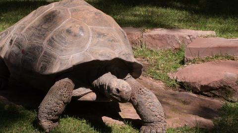 Galapagos giant tortoise turtle walking - Chelonoidis nigra Live Action