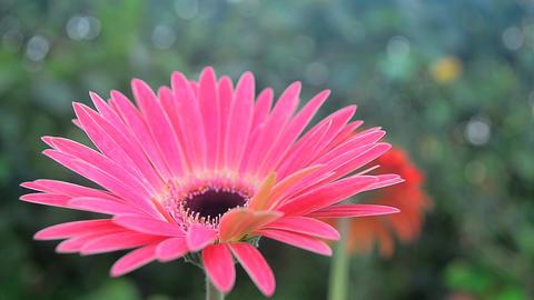 Close top shot of Gerbera garden flower ภาพไม่มีลิขสิทธิ์