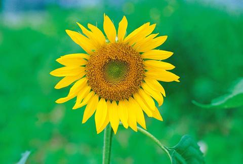Single sunflower ภาพถ่าย